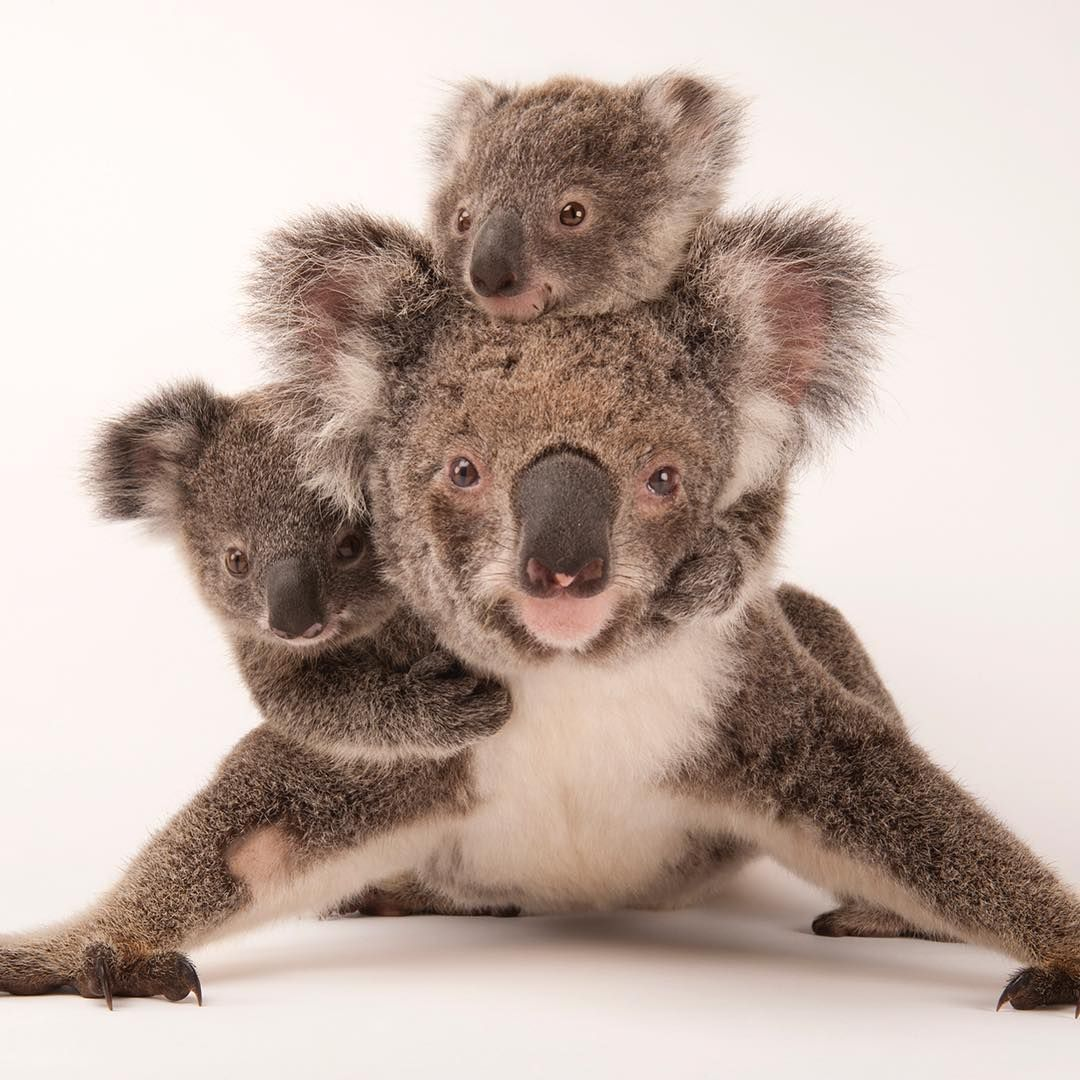 K O A L A http//ift.tt/2DkOJDE Baby animals funny, Cute