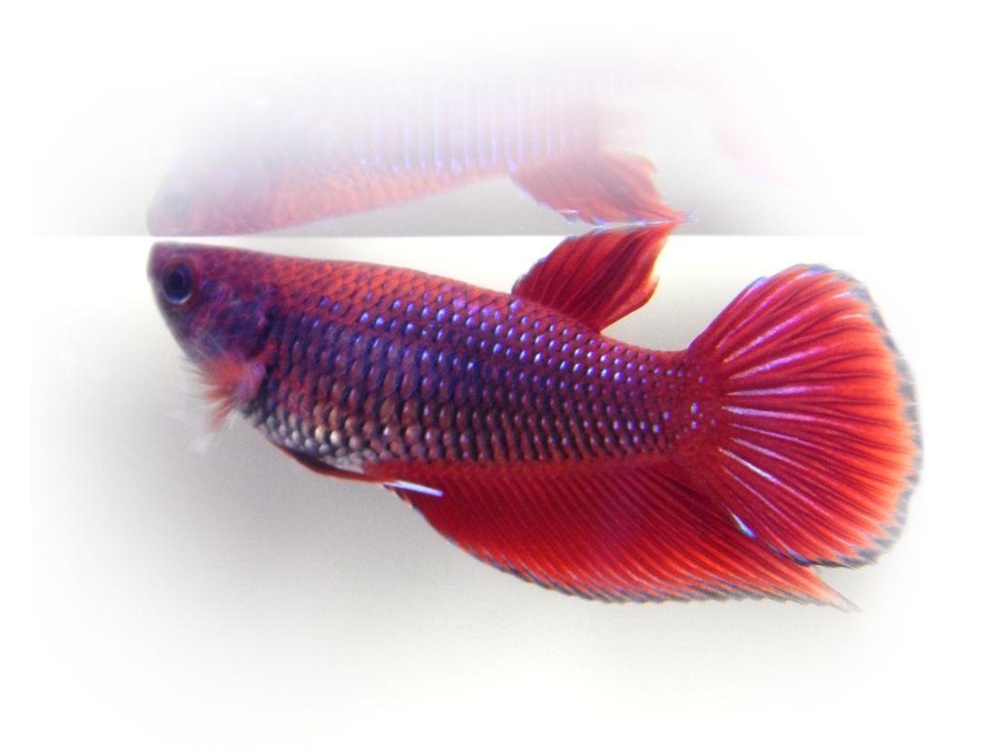 Live Red Female Betta Fish Betta Fish Betta Fish Pet