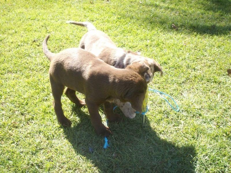 Australian koolie dog photo Koolie pups registered KCA