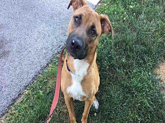 Urbana, IL Boxer Mix. Meet GOOSE, a dog for adoption