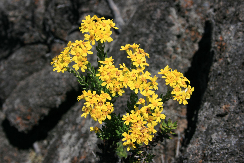 Petites Fleurs Jaunes Poussant Dans Les Interstices D Une Coulee