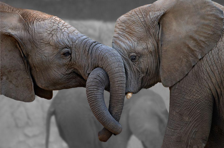 Смешные картинки слон, днем рождения