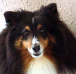 Adopt Mickey Adopted On Shetland Sheepdog Sheltie Dogs