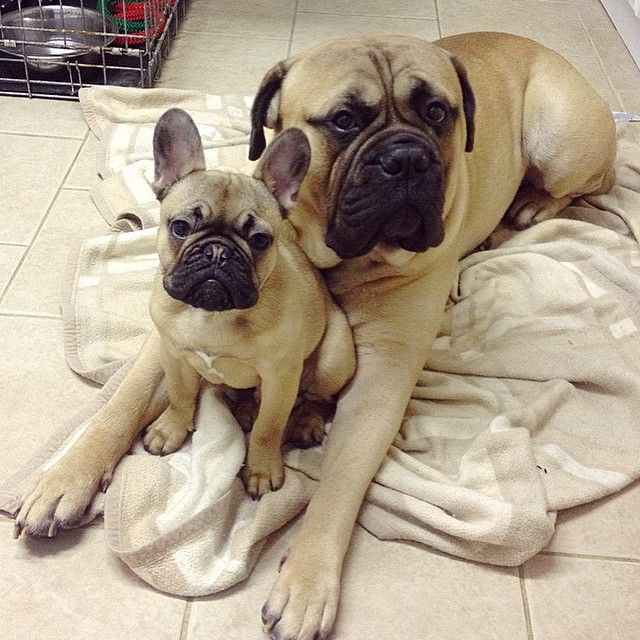 My Someday Combo A Bullmastiff And A French Bulldog And A