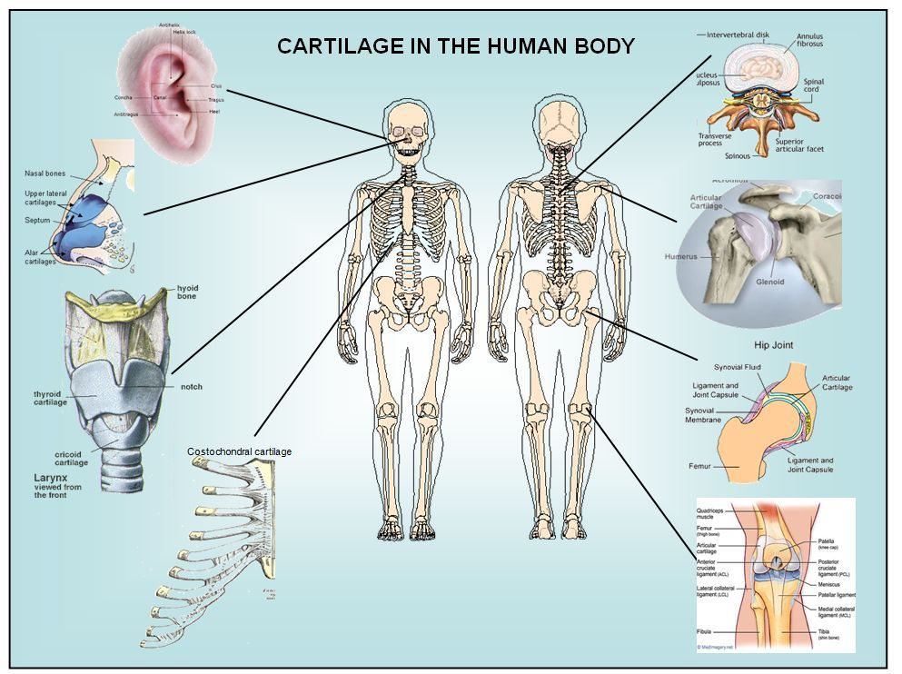d1762a6671c92a0f2274ce45e3a9cf8a cartilage yogo! pinterest human body, anatomy and body tissues