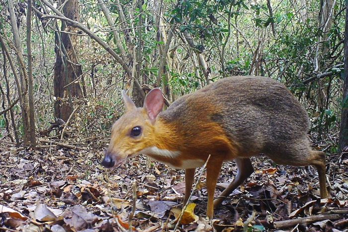 'Mythical' mousedeer thought to be extinct caught on
