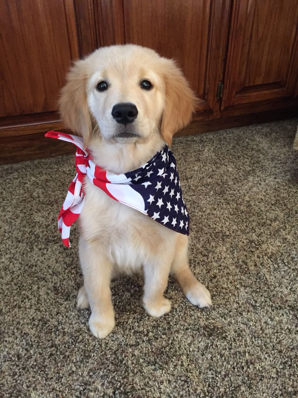 American Golden Retriever puppy Golden retriever