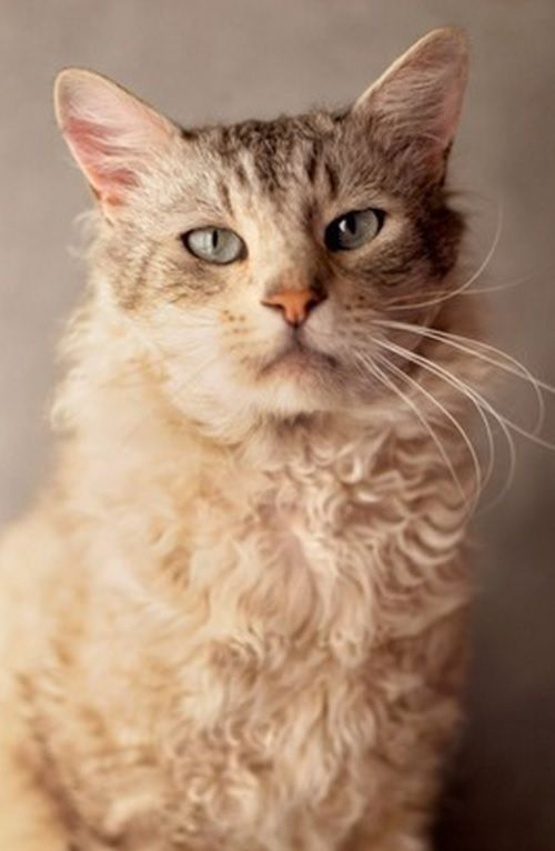 Curly-haired cat breeds have actually come to be popular recently, and consist of several of the most attractive as well as good-natured pet cats in the feline globe. Laperm, Gatos Devon Rex, Devon Rex Cats, American Wirehair, Selkirk Rex, Warrior Cats, Curly Haired Cat, Fluffy Cat Breeds, Gatos Cool