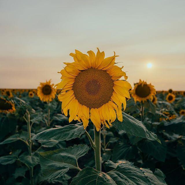 Sunflowers make me happy | Sunflower, How to make, Instagram