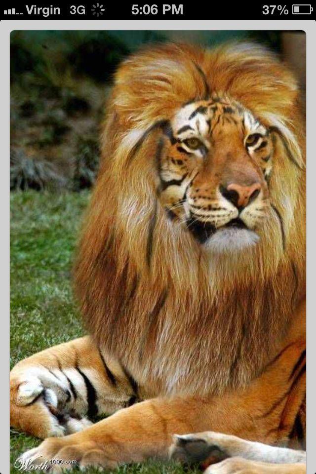 Lion tiger liger cute animals