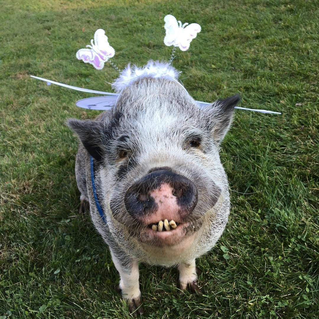Check out the large teeth!!! | Piggies! | Pinterest ...
