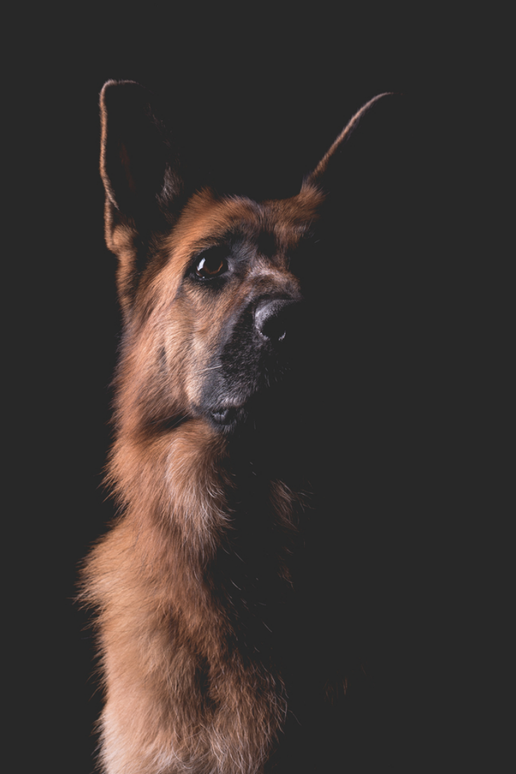 Beautiful german shepherd dog on a black background #germanshepherd in 2020  | German shepherd dogs, German shepherd, Shepherd dog