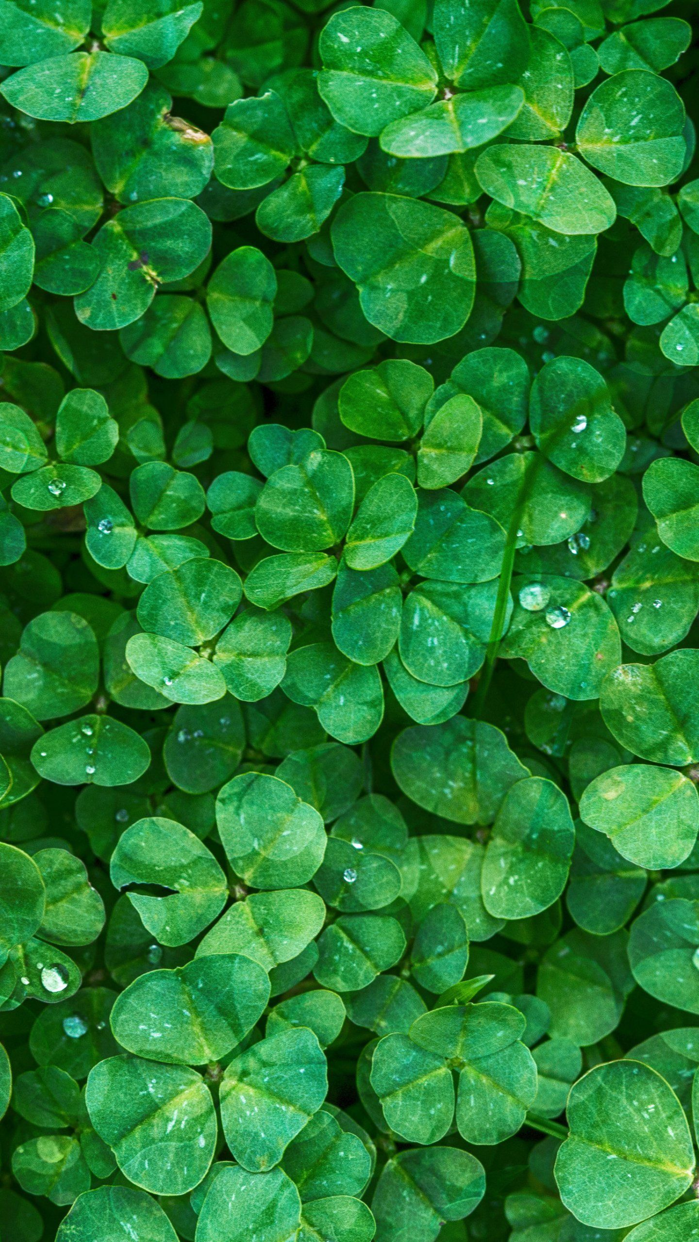 Irish Clovers Wallpaper Iphone Android Desktop