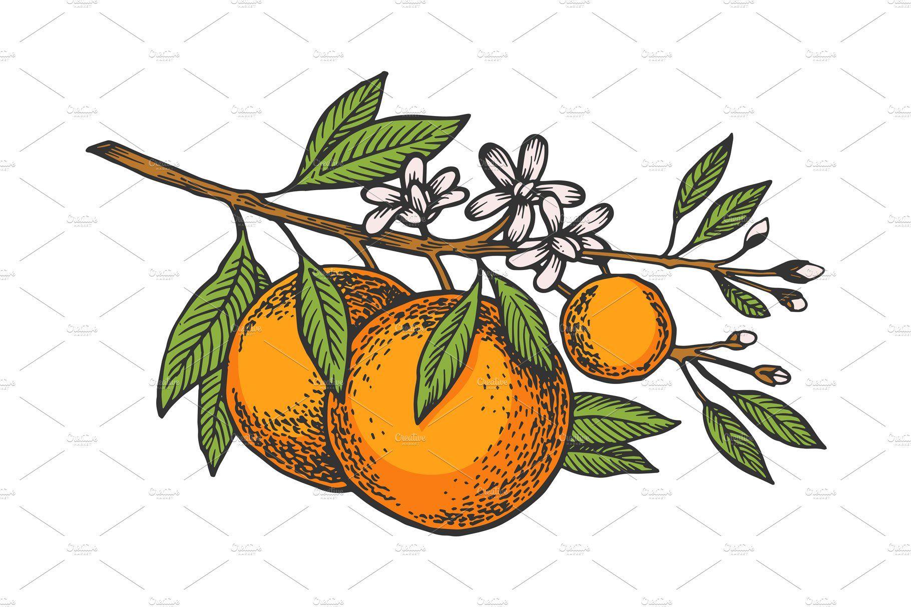 Orange tree branch color sketch in 2020   Sketches, Orange ...