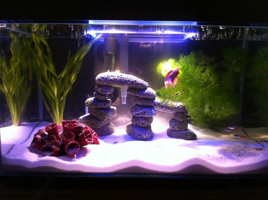 A Gorgeous Community Tank With A School Of Neon Tetras To Accompany A Betta Fish Betta Fish Tank Mates Betta Fish Tank Betta Fish