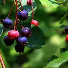 Foraging Brooklyn: Berry Season is Here! on http://nonabrooklyn.com
