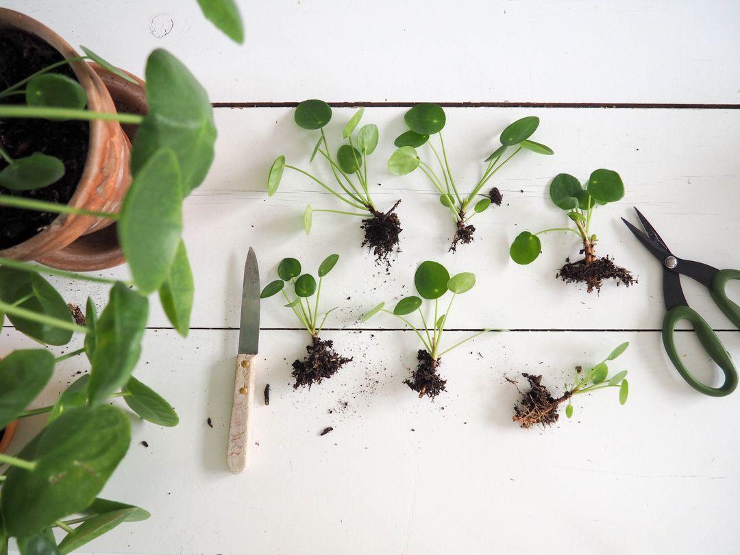 concours pilea peperomioides plante jardin. Black Bedroom Furniture Sets. Home Design Ideas