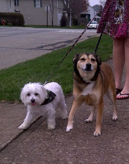 Shiba Mix And Maltese Best Friends