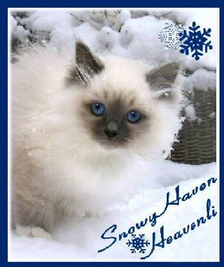 Cat Breeders Mn Snowyhaven Birmans Cats Birman Cat Cat Breeder