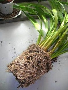 Quando Travasare Le Piante Da Appartamento.Quando E Come Rinvasare Un Orchidea Terreno Da Usare E Tipi Di