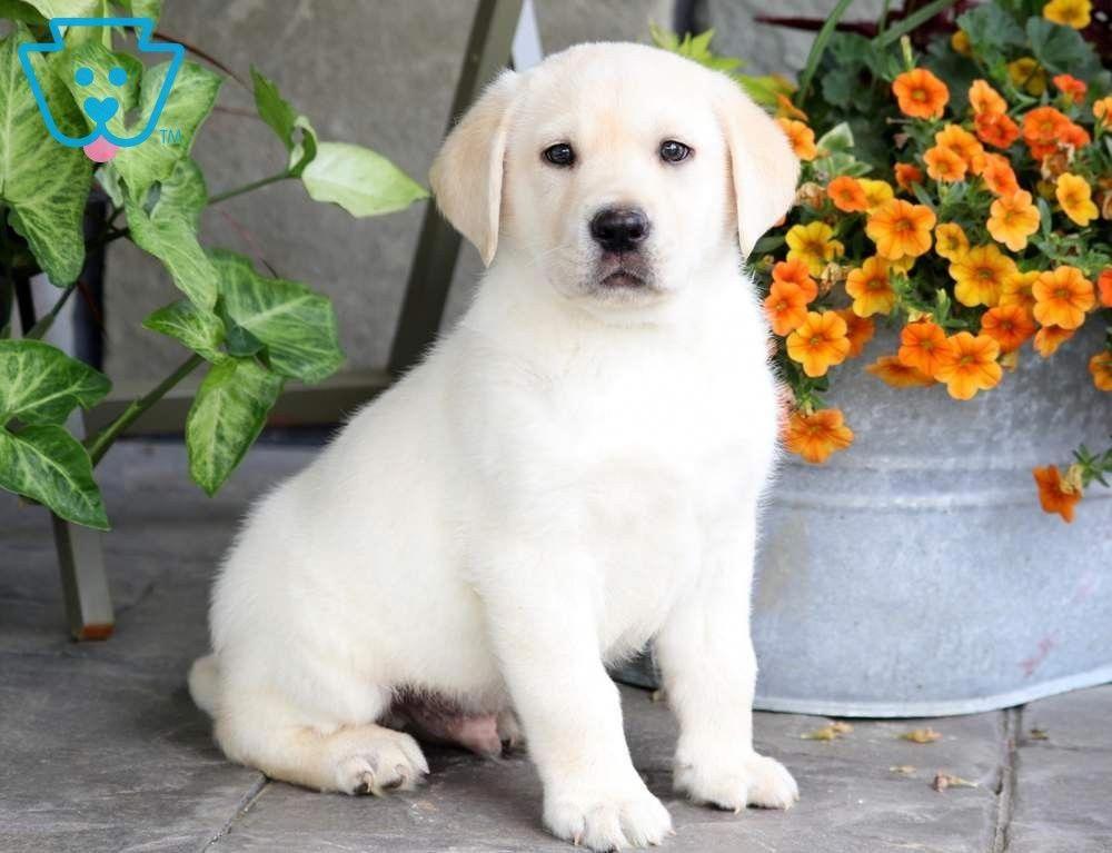 Boss | Labrador Retriever - Yellow Puppy For Sale | Keystone Puppies  #YelloeLab #keystonepuppies #dogmemes