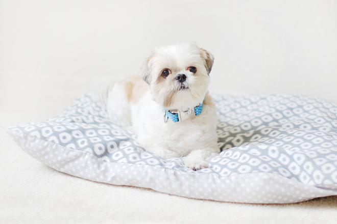 Shih Tzu Coco Bean on her new DYI bed made by her