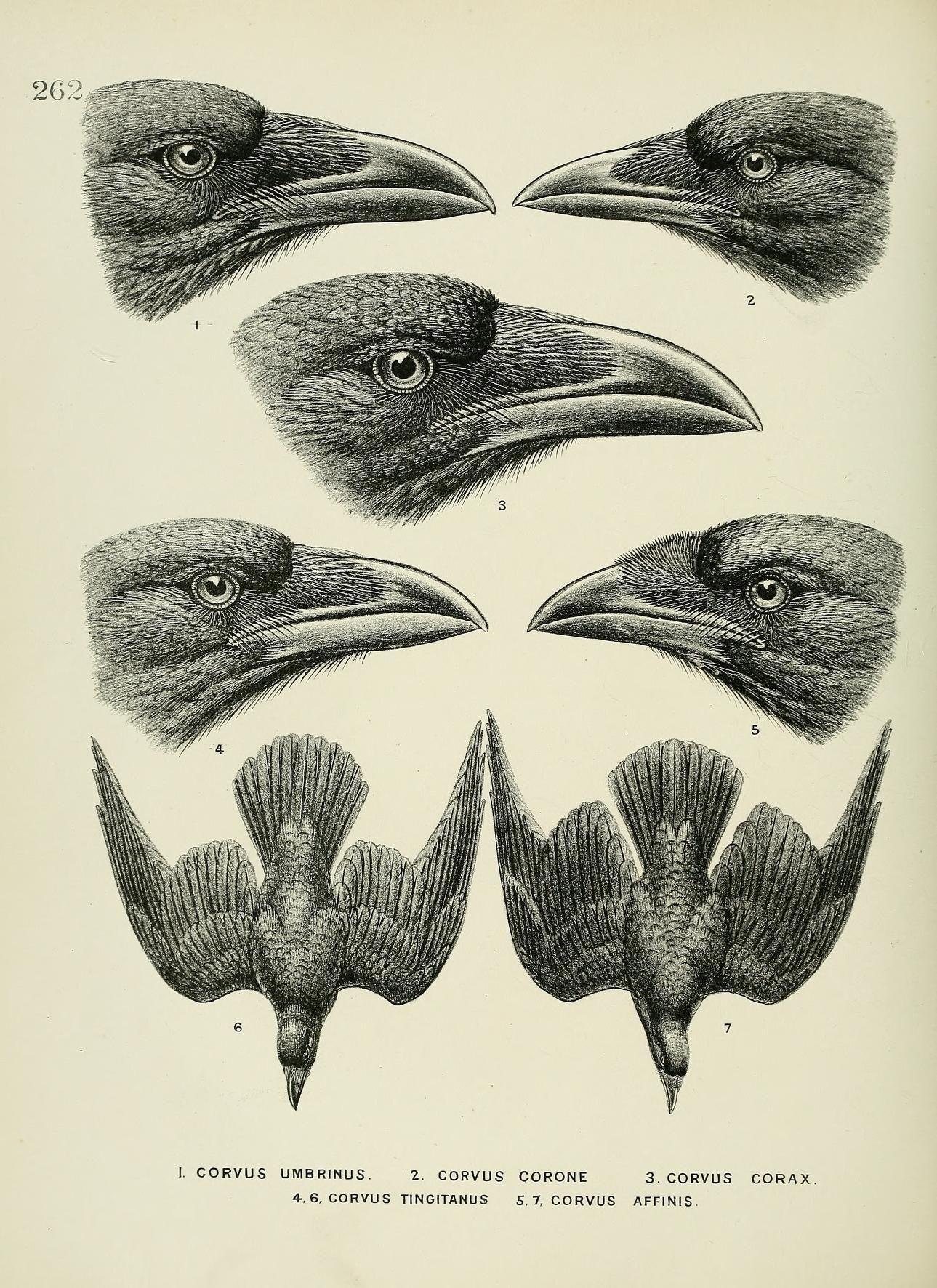 c 1.v.4 - A history of the birds of Europe : - Biodiversity Heritage ...
