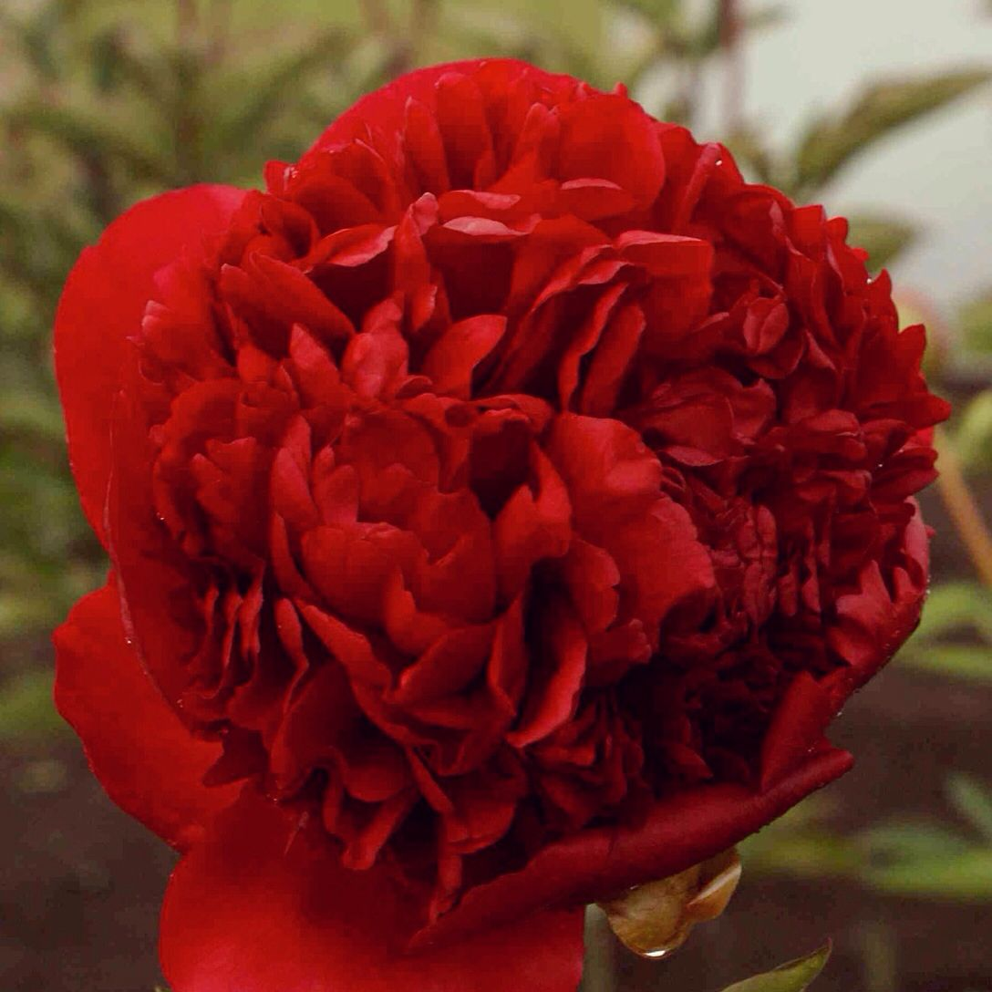Huge Red Diana Parks Peony Flores Pinterest Peonies Flowers