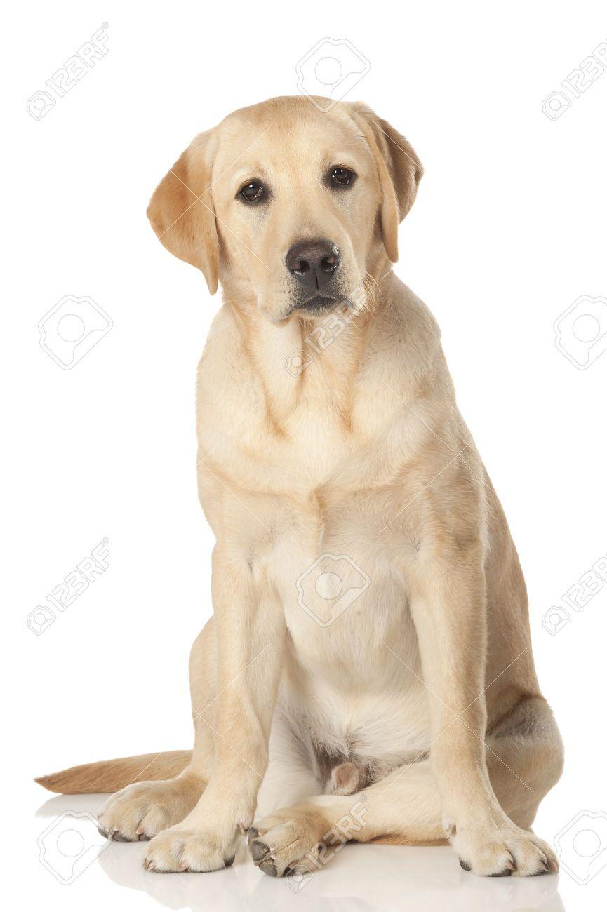 Stock Photo Labrador Retriever Labrador Dogs