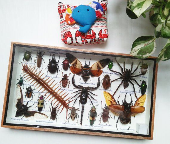 information card /& display gift box Real insects spiders /& scorpions Tarantula