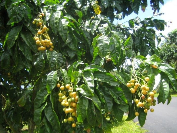 Fruits on Pinterest | Puerto Rico, Fruit and Fruit Trees