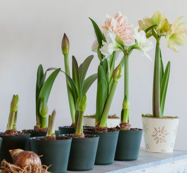 How To Have Amaryllis Blooming All Winter Long Amaryllis Care