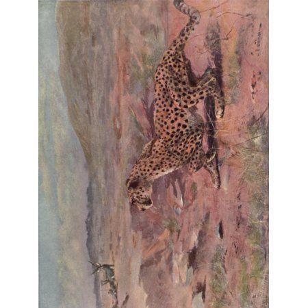 Wild beasts of the World 1909 Cheetah Canvas Art - Cuthbert E Swan (18 x 24)