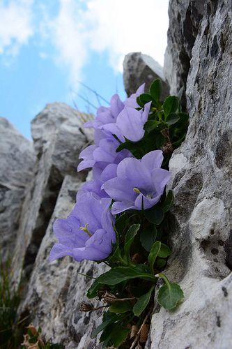 CAMPANULA RAINERI (Campanula di Rainer. Rainers Glockenblume. Campanule de Rainer. Rainerjeva zvončnica). Campanulaceae #florists