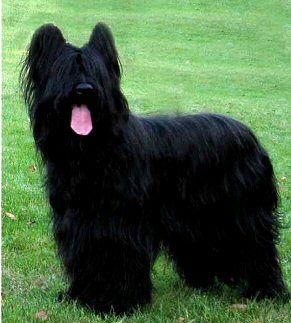Briard Dog Photo Briard Dog Breed Profiles Briard Dog Dog Breed Info Dog Breeds