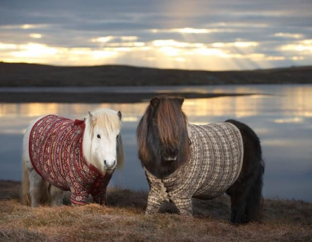 Two Shetland ponies dressed in button-down Fair Isle jumpers ...