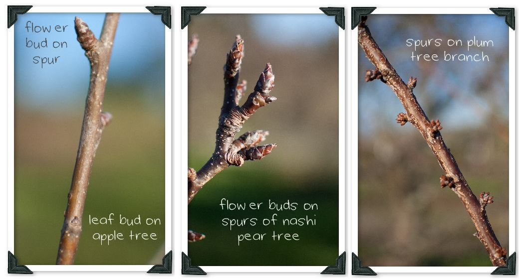 An Introduction To Pruning Fruit Trees Country Trading Blog Pruning Fruit Trees Prune Fruit Fruit Trees