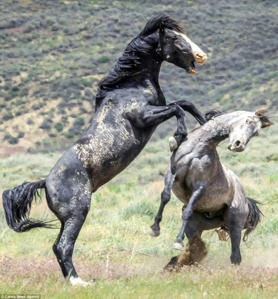 The interloper was soon vanquished by the black stallion, left, who chased off his inferior challenger, right