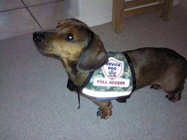 Thank U For All Ur Help Crusoe The Celebrity Dachshund Cute Dogs Doxie