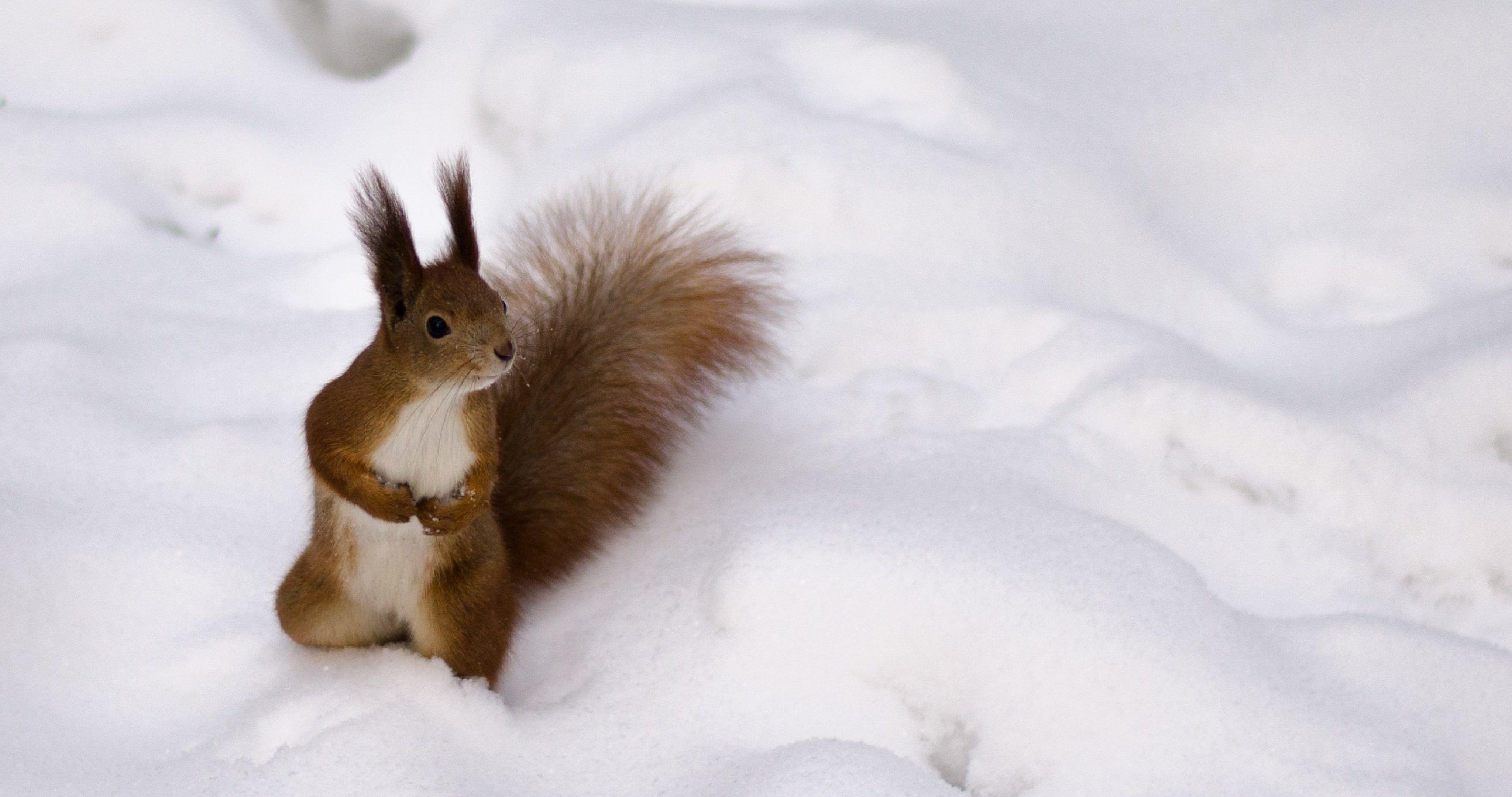 Protein Fluffy 4k Ultra Hd Wallpaper Animals Cute Animals Squirrel