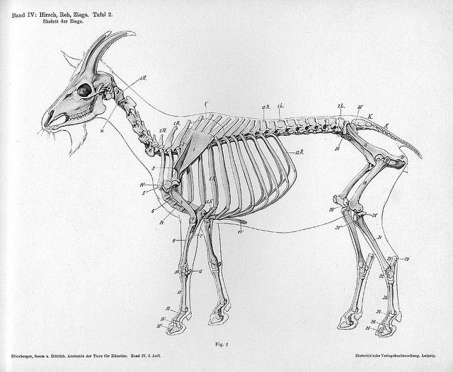 The Goat - Dittrich - 1898 skeleton by peacay, via Flickr