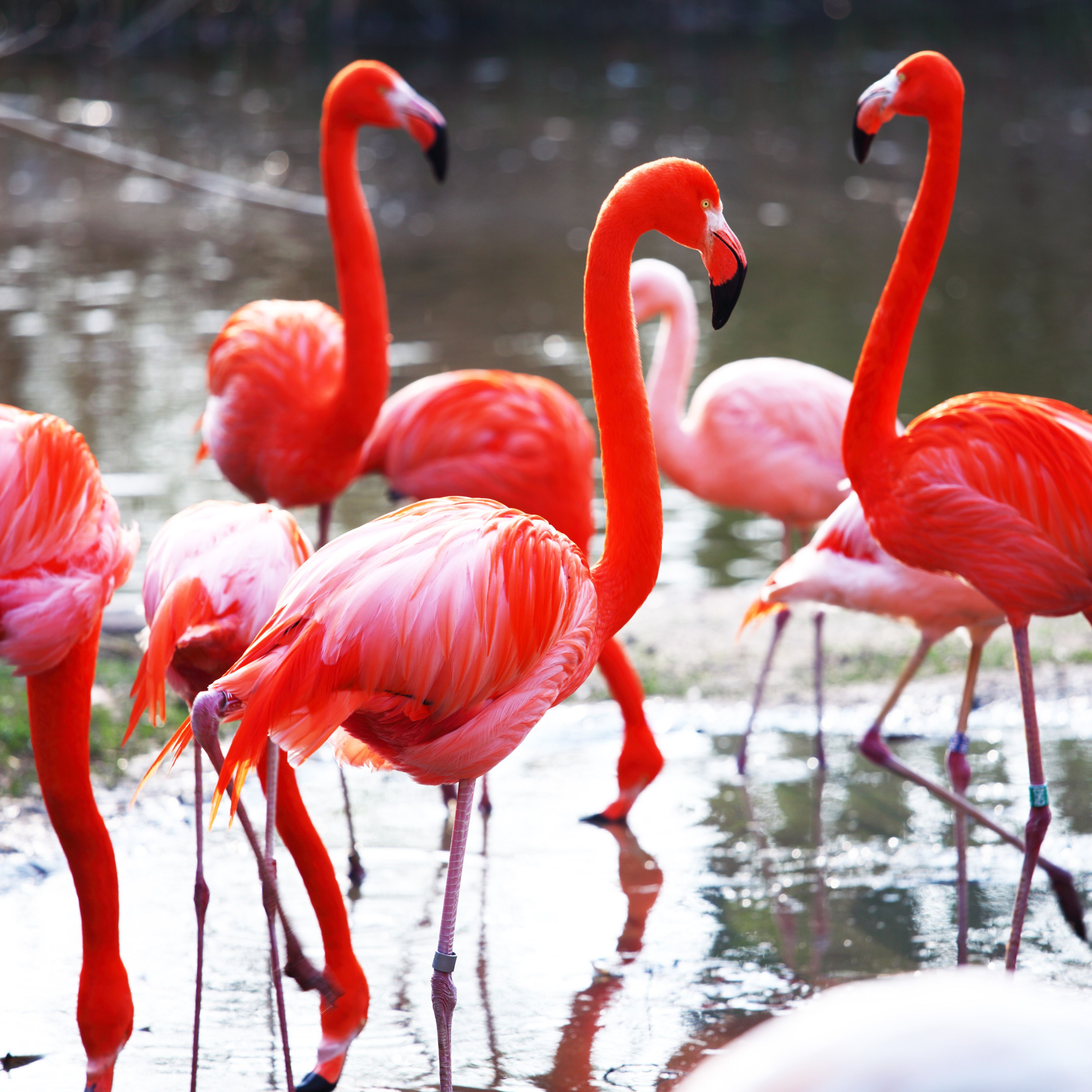 Flamingos Are Not Native To Florida But Can Be Found Within The Habitat Flamingo Fun Facts Pink Flamingos