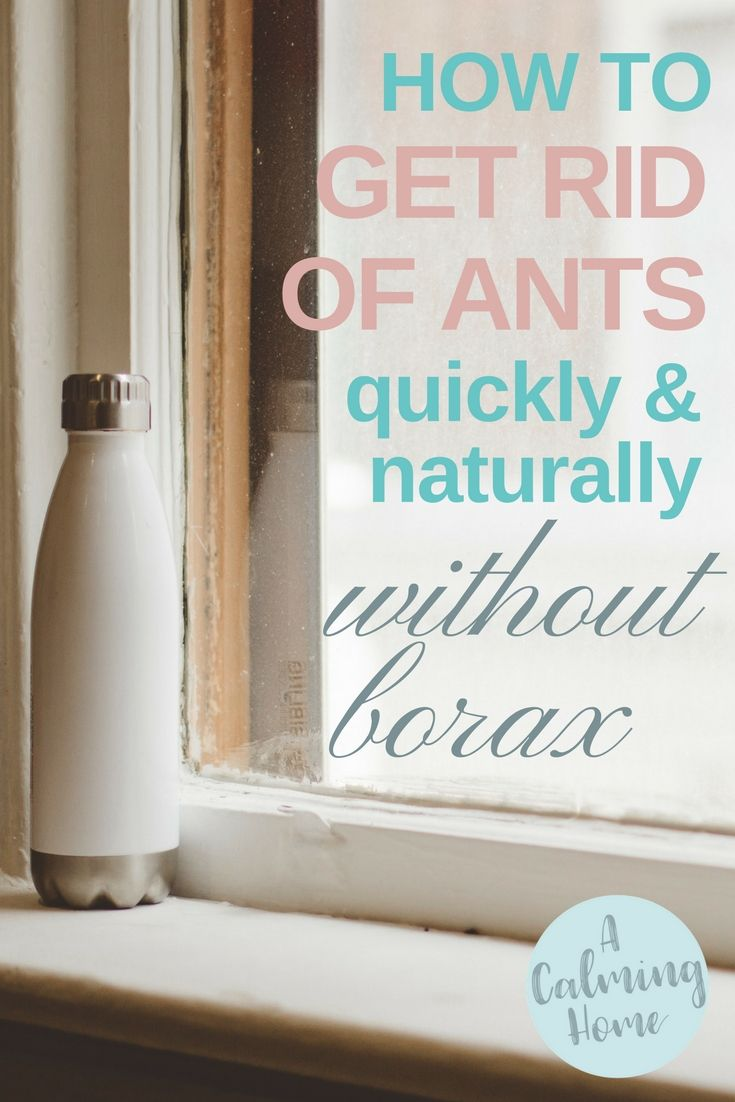 How to get rid of ants quickly and naturally without borax