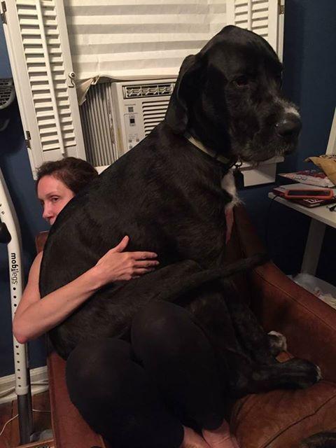 Great Dane Wolfhound Mix : great, wolfhound, Aunt's, Month, Great, Dane/Irish, Wolfhound, Http://ift.tt/2rhhoTn, Irish, Dane,