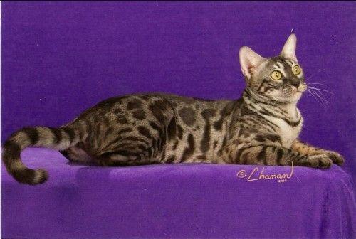 Darkmoon Bengals Tampa Fl Bengal Kitten Bengal Cat Pets Cats