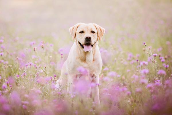 Hunde Mohnblumchen Fotografie Hunde Hundefotografie