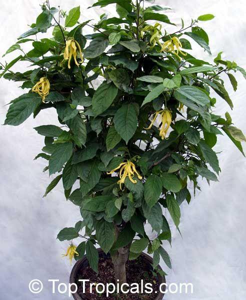 Cananga Fruticosa Odorata Var