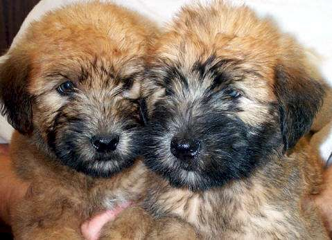 Soft Coated Wheaten Terrier Puppies World Wide Pups