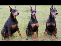 Doberman Pinscher Before You Adopt You Need To Know Youtube