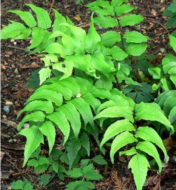 cyrtomium falcatum aspidie p pini re plantes. Black Bedroom Furniture Sets. Home Design Ideas